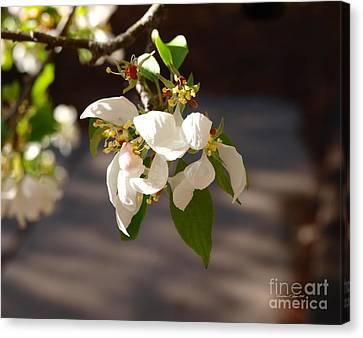 Rocky Mountain Apple Blossoms I Canvas Print by Christine S Zipps