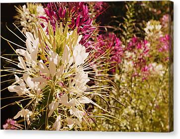 Rocky Mountain Bee Plant Canvas Print by Beth Collins