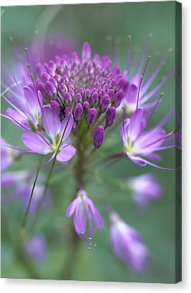 Rocky Mountain Bee Plant Cleome Canvas Print