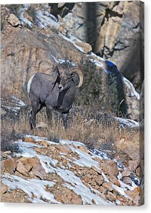 Rocky Mountain Big Horn Ram  Canvas Print by Gary Langley