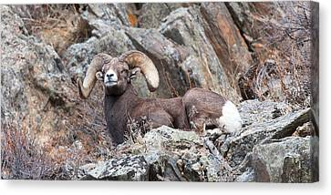 Rocky Mountain Big Horn Ram On Watch Canvas Print by Gary Langley