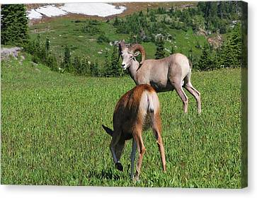 Rocky Mountain Bighorn Sheep Ram And Mule Deer Doe Glacier National Park Mt Canvas Print by Christine Till