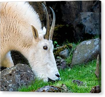 Rocky Mountain Goat Busy Eating Canvas Print