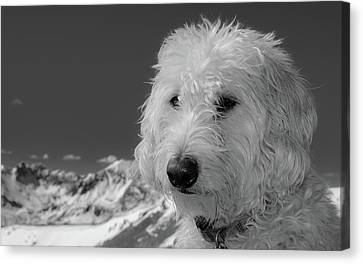 Rocky Mountain Labradoodle Canvas Print
