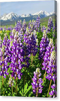 Rocky Mountain Lupines  Canvas Print