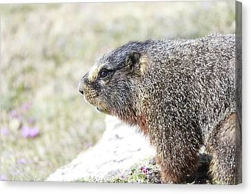 Rocky Mountain Marmot In Spring Canvas Print by Dan Sproul