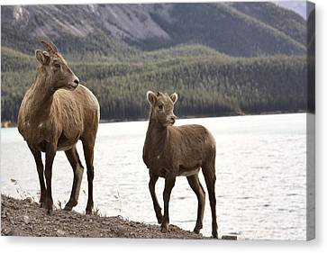 Rocky Mountain Sheep Canvas Print by Mark Duffy