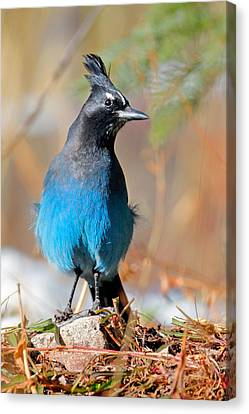 Rocky Mountain Steller's Jay Canvas Print