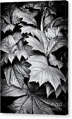 Rodgersia Podophylla Canvas Print by Tim Gainey