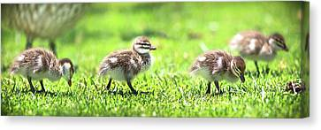 Rogue Duckling, Yanchep National Park Canvas Print