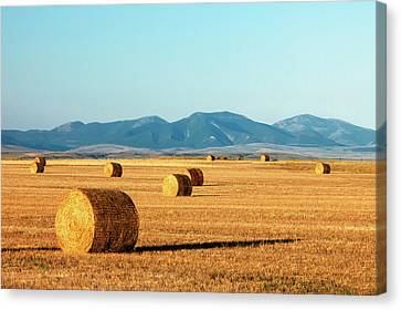 Rolled Gold Canvas Print by Todd Klassy