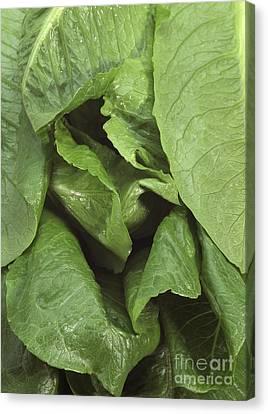 Romaine Lettuce Lactuca Sativa Canvas Print by Gerard Lacz