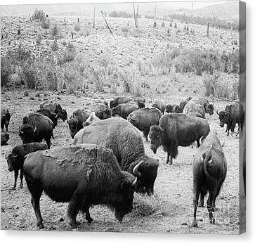 Roosevelt  King Of The Herd Canvas Print by American School