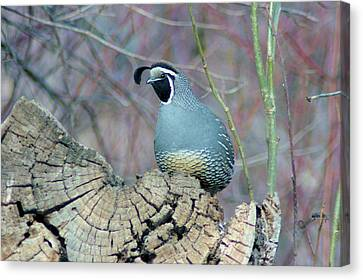 Rooster Quail  Canvas Print by Jeff Swan
