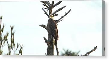 Roosting Eagle Canvas Print