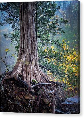 Rooted Canvas Print by James Barber