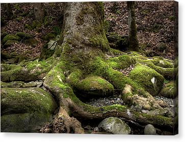 Roots Along The River Canvas Print