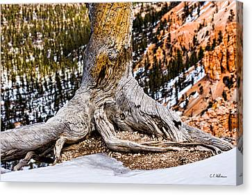 Roots Gripping The Edge Canvas Print by Christopher Holmes