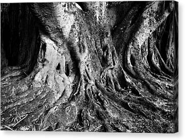 Roots Of The Banyan Canvas Print by David Lee Thompson