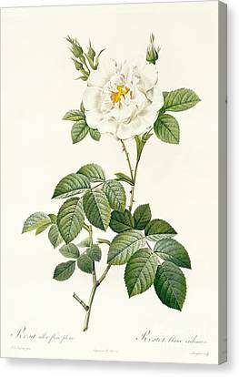 Leaves Canvas Print - Rosa Alba Flore Pleno by Pierre Joseph Redoute