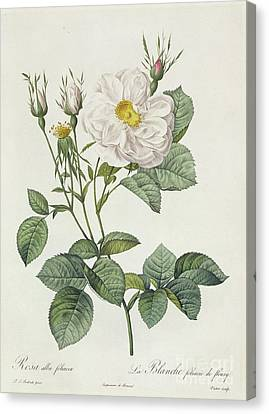 In Bloom Canvas Print - Rosa Alba Foliacea by Pierre Joseph Redoute