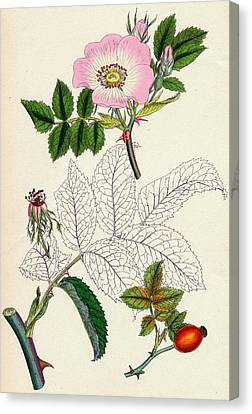 Rosa Canina Common Dog Rose Canvas Print by Unknown
