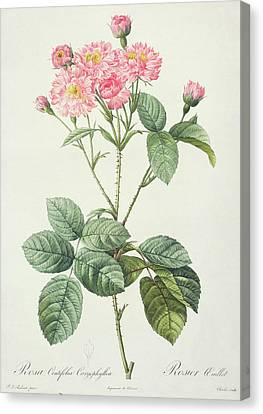 In Bloom Canvas Print - Rosa Centifolia Caryophyllea by Pierre Joseph Redoute