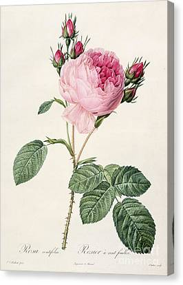 Leaves Canvas Print - Rosa Centifolia by Pierre Joseph Redoute