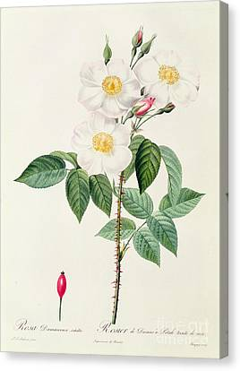 In Bloom Canvas Print - Rosa Damascena Subalba by Pierre Joseph Redoute
