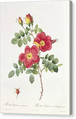 In Bloom Canvas Print - Rosa Eglantera Punicea by Pierre Joseph Redoute