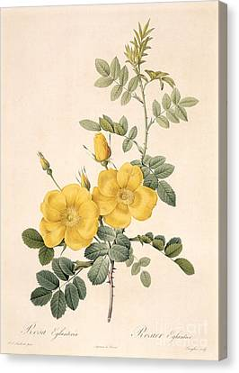 In Bloom Canvas Print - Rosa Eglanteria by Pierre Joseph Redoute