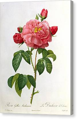 Leaves Canvas Print - Rosa Gallica Aurelianensis by Pierre Joseph Redoute