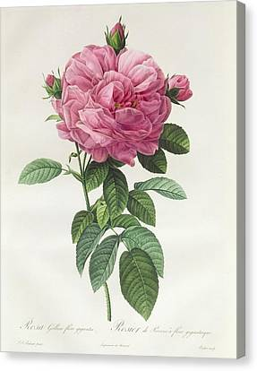 In Bloom Canvas Print - Rosa Gallica Flore Giganteo by Pierre Joseph Redoute