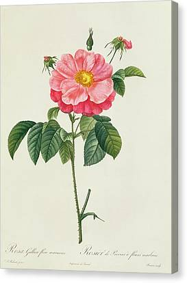 Rosa Gallica Flore Marmoreo Canvas Print by Pierre Joseph Redoute