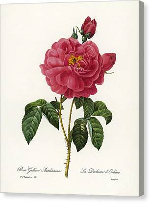 Rosa Gallica Canvas Print by Granger