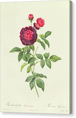 Horticultural Canvas Print - Rosa Gallica Gueriniana by Pierre Joseph Redoute