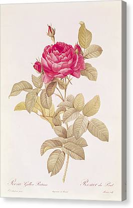 Rosa Gallica Pontiana Canvas Print by Pierre Joseph Redoute