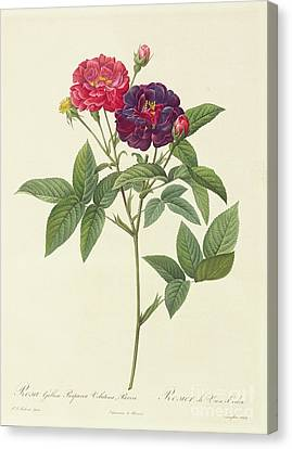 Leaves Canvas Print - Rosa Gallica Purpurea Velutina by Pierre Joseph Redoute