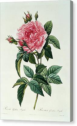 In Bloom Canvas Print - Rosa Gallica Regalis by Pierre Joseph Redoute