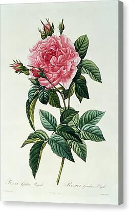 Rosa Gallica Regalis Canvas Print by Pierre Joseph Redoute