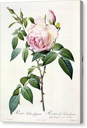 Rosa Indica Fragrans Canvas Print by Pierre Joseph Redoute