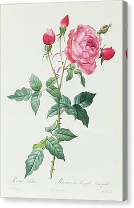Rosa Indica Canvas Print