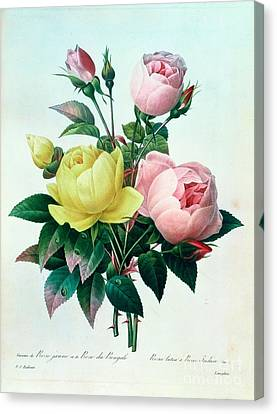 Rosa Lutea And Rosa Indica Canvas Print by Pierre Joseph Redoute