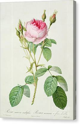 In Bloom Canvas Print - Rosa Muscosa Multiplex by Pierre Joseph Redoute