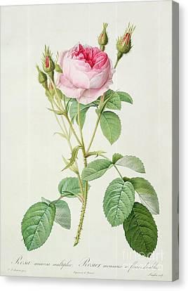 Rosa Muscosa Multiplex Canvas Print by Pierre Joseph Redoute