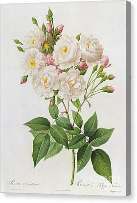Horticultural Canvas Print - Rosa Noisettiana by Pierre Joseph Redoute