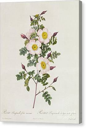In Bloom Canvas Print - Rosa Pimpinelli Folia Inermis by Pierre Joseph Redoute