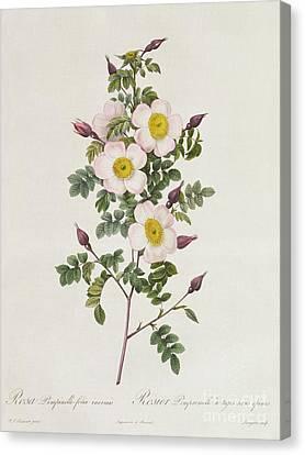 Rosa Pimpinelli Folia Inermis Canvas Print by Pierre Joseph Redoute