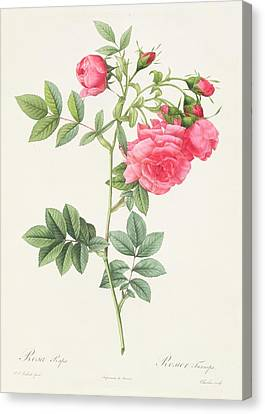 Rosa Pimpinellifolia Flore Variegato  Canvas Print by Pierre Joseph Redoute