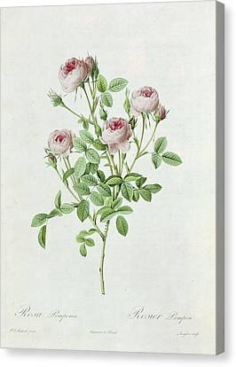 Rosa Pomponia Canvas Print by Henri Joseph Redoute